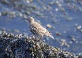 Juvenile Starling — Stock Photo