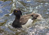 Male Tufted Duck in Pond — Stock Photo