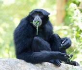 Siamang Gibbon Eating Grass — Stock Photo