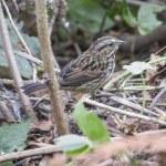 Song Sparrow — Stock Photo #55400505