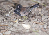 Dark-Eyed Junco — Stock Photo