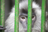 Silver Leaf Monkey Behind Cage — Stock Photo