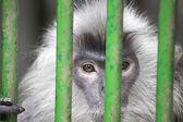 Silver Leaf Monkey Behind Cage — Stockfoto