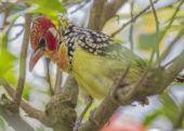 Red & Yellow Barbet — Foto Stock