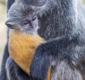 Zilveren blad aap — Stockfoto