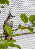 Red Whiskered Bulbul — Stock Photo