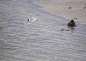 Rybák obecný — Stock fotografie