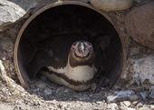 Penguin in Pipe — Stock Photo