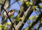 Chaffinch — Foto Stock