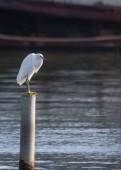 Snowy egret — Stockfoto