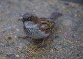 Male Sparrow Eating Crumb — Stock Photo