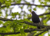 Blackbird Singing In Tree — Stock Photo