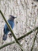 Steller's Jay On Tree — Stock Photo