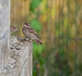 Common Sparrows Resting On Rock Ledge — Stock Photo