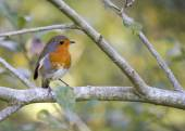 Robin Red Breast — Stock Photo