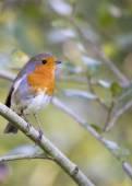 Robin röda bröst — Stockfoto