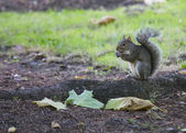 灰色松鼠 — 图库照片