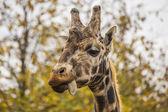 Giraffe Licking Lips — Stock Photo