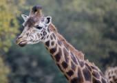 Giraffe in Autumn — Stock Photo