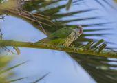 Rose-Ringed Parakeet — Stock Photo