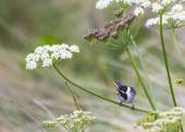 Reed Bunting — Stock Photo