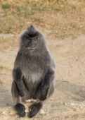 Silvered Leaf Monkey — Stock Photo