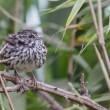 Song Sparrow — Stock Photo #60846697