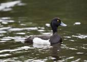 Male Tufted Duck — Stock Photo