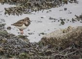 Turnstone — Stock Photo