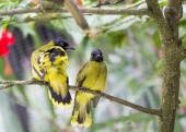 Black Headed Bulbul — Stock Photo