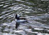 Bufflehead Duck in Water — Stock Photo