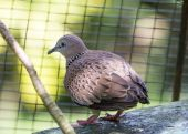 Spotted Dove — Stock Photo