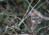 Chaffinch Perched on Tree — Stock Photo