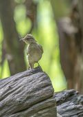 Grey Eyed Bulbul — Stock Photo