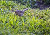 White Crowned Sparrow — Stock Photo