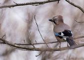 Blue Jay — 图库照片