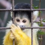 Spider Monkey In Captivity — Stock Photo #61393595