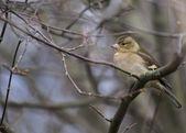 Chaffinch (Female) — Stock Photo