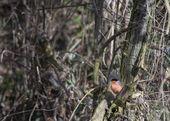 Eurasian Bullfinch - Pyrrhula — Stock Photo