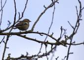 Chaffinch (Male) — Stock Photo
