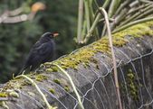 Blackbird (male) — Stock Photo