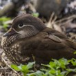 Female Mandarin Duck (Aix galericulata) — Stock Photo #70722603