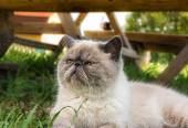 Exotic Shorthair  cat on nature. — Photo