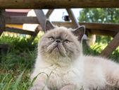 Exotic Shorthair  cat on nature. — Zdjęcie stockowe