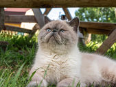 Exotic Shorthair  cat on nature. — Foto de Stock