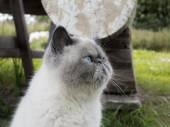 Portrait exotic shorthair  cat on nature. — Zdjęcie stockowe