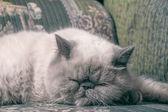 Exotic Shorthair Cat — Stock Photo