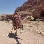 Dromedary Camel (Camelus dromedarius), in the ancient Nabataean rock city of Petra, Jordan, Middle East, Asia — Stock Photo #68628123