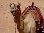 Dromedary Camel (Camelus dromedarius), in the ancient Nabataean rock city of Petra, Jordan, Middle East, Asia — Stock Photo