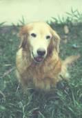 Portrait of smiling golden retriever dog in the garden — Stock Photo